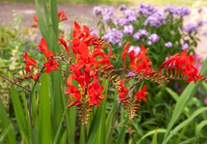 Crocosmia – Also known by its common name, Montbretia